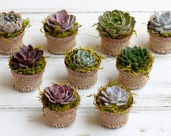 Succulent favors,Echeverias,Living succulents,Succulent pots,succulent centerpieces,wedding favors,wedding center pieces, nice variety