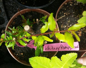 1 Organic Whitney Pomegranate Tree Rooted Cutting