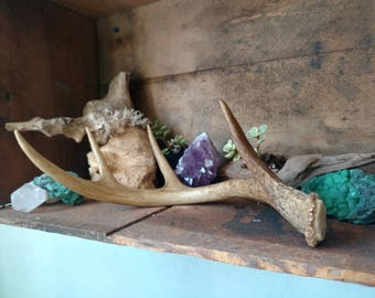 Small Deer Antler Organic Natural Shed Buck Horn Home Accents and Crafts