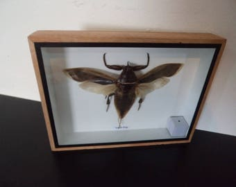 Taxidermy Real Giant Water Beetle Insect Bug Display Entomology Zoology