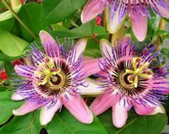 Passiflora coral blue seeds ,207, the clock flower,flower seeds, gardening, climbing flower, clock flower,passiflora quadrangularis