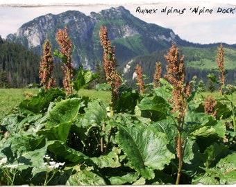 Rumex alpinus 'Monk's Rhubarb' 20+ SEEDS