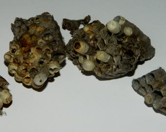 Wasp Nests with Larvae - 4 Small Nests