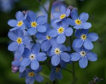 Forget Me Not Seeds, Flower, Myosotis Sylvatica, Perennial Plant fresh seeds 0.30gr