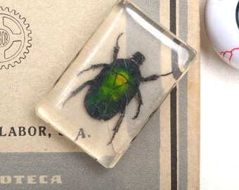 Taxidermy, insect taxidermy, weevil, real insect, insect taxidermy