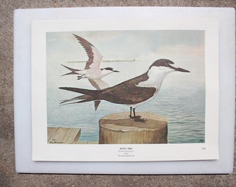 Sooty Tern 75, Rex Brasher's Birds of North America, Sea Birds, Full-Color Lithographic Print, 1962 Gramercy Publishing Company