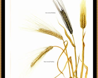 "Barley illustrated by Marilena Pistoia for the book Fruit of the Earth. This is a bookplate approx. 8"" by 11 1/2"""