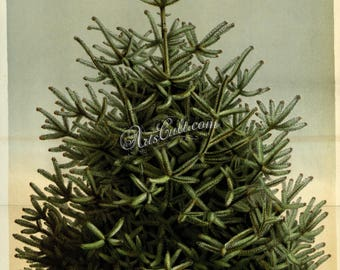 trees-00457 - abies pinsapo Spanish Fir Christmas New Year holidays celebration tree green botanical botany wood forest vintage picture jpeg