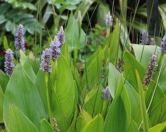 Attract Dragonflies:) Pickerel plant (Pontederia cordata) Pond/Marginal Large Ponds Bare Rooted Plant.
