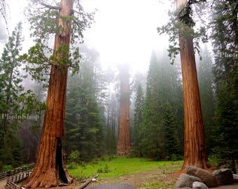 Redwoods Photo, digital download