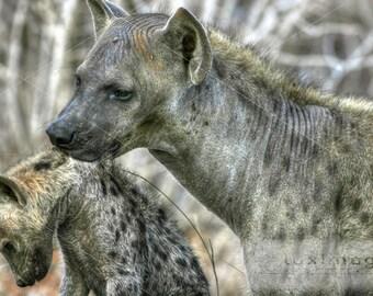 Kenya Safari, Mother Carrying Baby Hyena, Animal Wildlife Print Photograph, Wall Decor