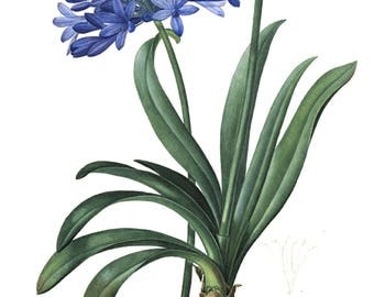 Agapanthus seed packet