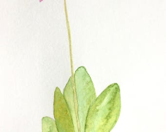 Original Watercolor Painting, Shooting Star , Pink Wildflower, Watercolor, Pink Flower, Floral Decor
