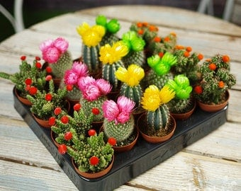 Mini Cactus Colourful Disco Mix - House / Office Live Indoor Pot Plant - Ideal Wedding Favour Party Gifts