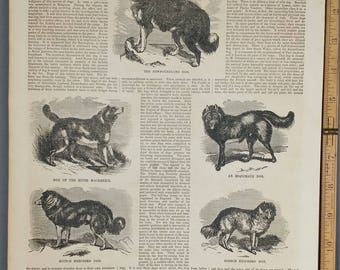 Antique Dog Engravings: Newfoundland,River Mackenzie,Esquimaux,Griffon,Schotch and French Shepherd 1854.Large Antique Engraving, About 11x15