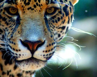 Jaguar  Digital Photo Download