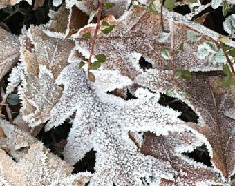 Pin Oak Leaves 2