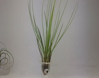 Hand blown glass (beaker shape) with air plant (included)