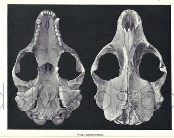 1900's Harp Seal Skull Original Vintage Anatomy Science Print