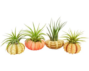 Bliss Gardens 4pc Tillandsia Air Plants w/ Sea Urchins / Jellyfish Planter Air Plant Gift Set