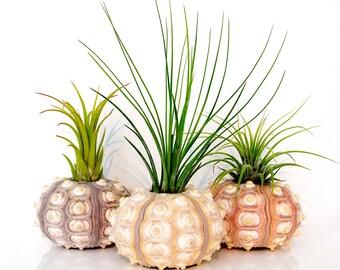 Air Plant KIT - 3 Tillandsia Live Air Plants + 3 GIANT Sea Urchin Shells + Gift Box * Genuine Sea Shell Planters. Hand Picked. Terrarium
