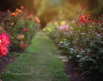 Digital Backdrop | Digital Background of rose garden pathway.
