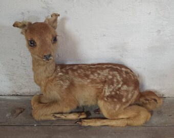 Baby Deer Taxidermy, Fawn Taxidermy, French Taxidermy, Antique Taxidermy, Taxidermy Deer, Curiosity Cabinet, Antique Oddities, Roe Deer