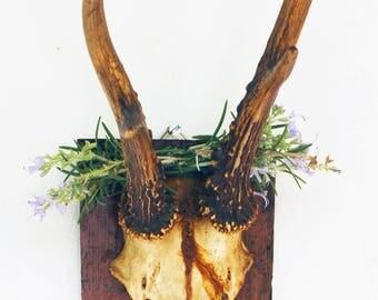 Authentique ancien trophée de chasse, crâne et bois de chevreuil, porte manteau