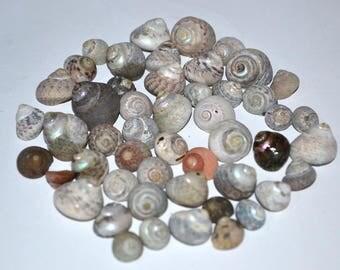 Top Shells, Sea Shells Bulk, Small Sea Shells, Craft Shells, Sea Shells for Crafting, Greek Seashells