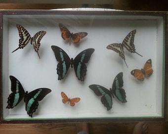 N.Boubée  butterflies in case, Paris