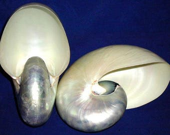 PEARLED CHAMBERED NAUTILUS~Pompileus Shell-Select from (5) Sizes-Craft Seashell Supply~Makes a Beautiful Show Piece Display~Free Shipping