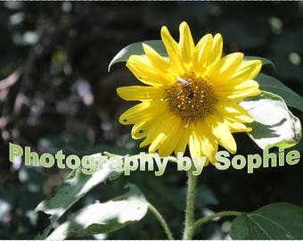 Sunflower and Bee Digital Photograph -Printable