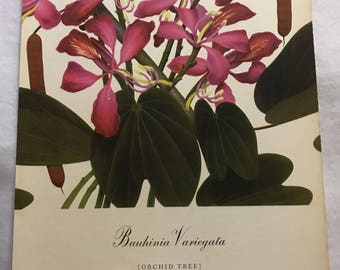 Bauhinia Variegata (Orchid Tree) Bernard & Harriet Pertchik 1951 Print from Flowering Trees of the Caribbean Alcoa Steamship