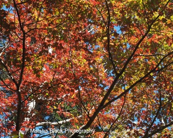 """Trees Fall Colors Photography, """"Changing Colors on a Carriage Road Mt. Desert Island Maine"""" Print, Fall Colors Wall Art, Fall Colors Decor"""