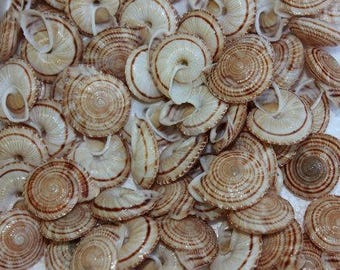 Obba Rota Land Snail Seashells  (5 Shells)