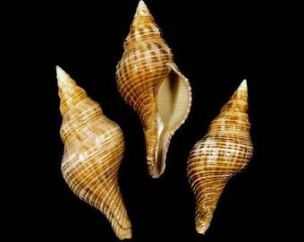 Fasciolaria Filamentosa Seashells  (2 Shells)