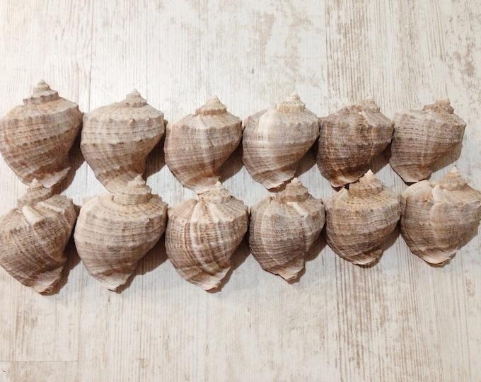 Rapana shells