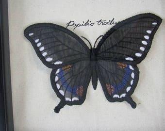 Organza Spicebush Swallowtail Butterfly Winged Curiosity Specimen Shadow Box