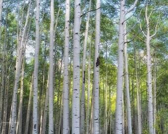 Aspen Tree Panorama, Aspen Tree Wall Art, Tree Photography, Aspen Trees, Aspen Tree Print, Colorado Photography, Tree Print, Large Print