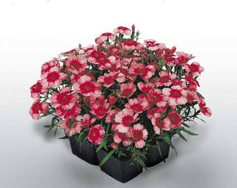 Dianthus Super Parfait Raspberry Live Plants - Annual Flowering Plants