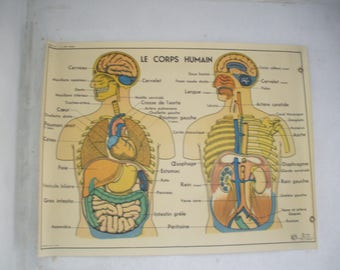 School poster the human body / muscles