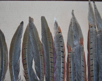 FG13 - Set of natural tail feathers of pheasants 13plumes-12/30cms - (FG13)