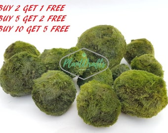"Marimo Moss ball Giant ~2"" Freshwater for terrarium aquarium planted tank buy 2 GET 1 FREE"