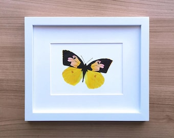 California Dogface Butterfly Illustration Art Print | Colored Pencil Drawing by Katherine Vason | Petals and Papillons