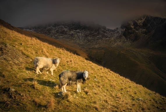 Herdwicks below Scafell Pike & Scafell [Photographic Print]