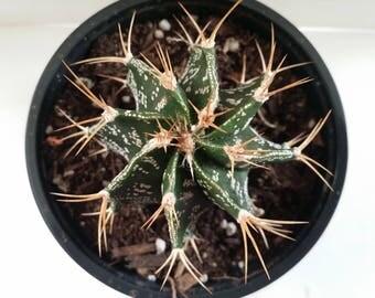 """Astrophytum ornaturn Cactus(4.0""""pot)"""