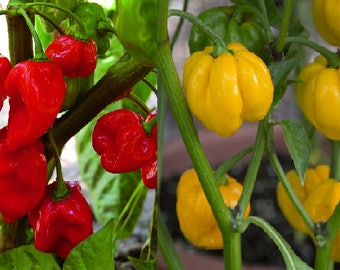 Scotch Bonnet Red (10 SEEDS) or Yellow (25 SEEDS)-Hot Chilli Peppers