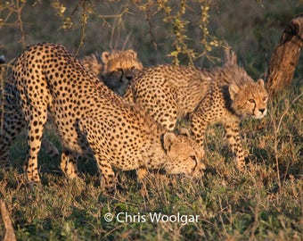 Cheetah Cubs Fine Art Photograph Print