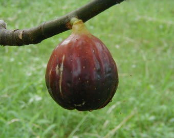 Magnolia Fig, LIVE POTTED PLANT, Fruit Tree, Cold Hardy