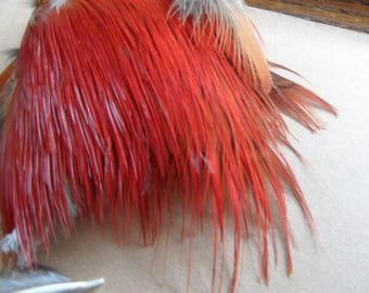 very red natural (6) feather Golden Pheasant.